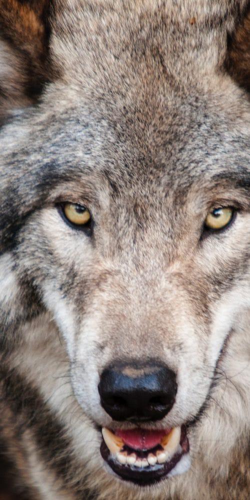 Großer böser Wolf